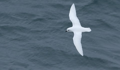 Snow Petrel (Med Gull) Tags: zegrahm antarctic 2017