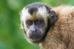 Capuchin Monkey-3304.jpg (donnatopham) Tags: peru capuchinmonkey