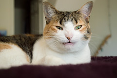 Cat in Natural Light (christinepotts) Tags: cat nikon d3200 catyoga naturallight tabby calico sunshine natural light