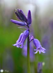 Light and soul (Trayc99) Tags: bluebell flower floral closeup macro beautyinnature beautyinmacro beautiful bokeh