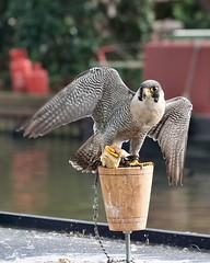 Set me Free! (sasastro) Tags: birdsofprey tethered cruel