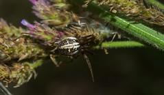 Neoscona sp. (dustaway) Tags: arthropoda arachnida araneae araneomorphae araneidae araneinae neoscona orbweaver australianspiders tuckeanswamp richmondvalley northernrivers nsw australia nature