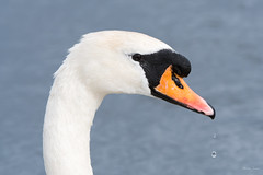 Swan (Shane Jones) Tags: muteswan swan bird wildfowl wildlife nature nikon d500 200400vr tc14eii
