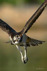Be glad you're not a fish.. (Earl Reinink) Tags: bird animal birdphotography nature naturephotography earl reinink nikon niagara raptor osprey talons danger uddaudedra