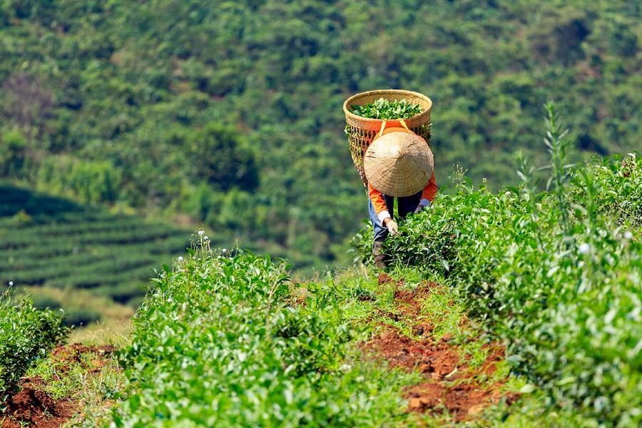 Harvesting tea on a plantation in Vietnam