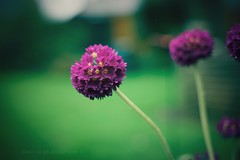 Sony a7 50mm 1.8. (Jasrmcf) Tags: sony sonyalpha alpha sonya7 a7 bokeh bokehlicious bokehgraph dof depthoffield detail smooth blur macro 50mm 50mm18 garden nature greatphotographers fullframe primelens flowers flower beautiful ilce7 sel50f18f