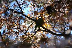 Entre los almendros en flor (Filo Schira) Tags: almendro flor arbre árbol tree amandier oiseau pájaro perruche cotorra budgie parrot quintadelosmolinos madrid españa