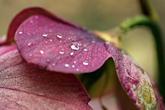 Helleborus (notpushkin) Tags: pink lila christrose schneerose nieswurz drops water flower