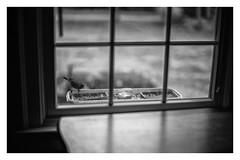 peeping_cardinal (peterjcb) Tags: leica m monochrom 50mm f10 noctiluxm ccd bird feeding bokeh