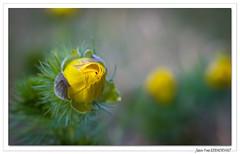 Adonis vernalis  (Adonis de printemps) (C. OTTIE et J-Y KERMORVANT) Tags: nature fleurs fleurssauvages adonisvernalis adonisdeprintemps france