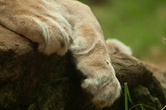 2011 - Taronga Zoo (Melanie Wilde) Tags: zoo paw lion taronga