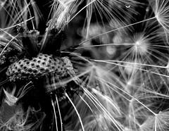 clock_mono - 4 (little_auk) Tags: flowers suffolk thegrove felixstowe dandelions
