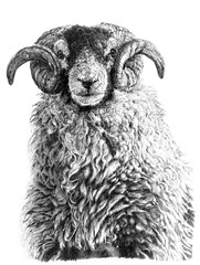Swaledale Tup (Vivienne Coleman) Tags: blackandwhite sheep farm horns tip fleece commission pencildrawing tup swaledale