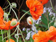 poppies 049 (cellocarrots) Tags: poppies