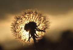 Dandilion sunset 1 (c.richard) Tags: sunset sunlight sunshine silhouette dandilion
