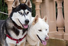 Pretty much the first photo of the two of them together and they're not bitey-facing! The power of ducks in a distant lake... (Gertrude139) Tags: dog happy husky siberianhusky sibe bieyed