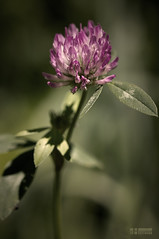 Clover Blossom (Neshpictures) Tags: pink plant flower macro leaf flora 100mm makro gree flowes purble