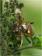 Cerambycidae & Urtica