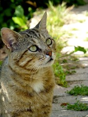 l'attente (b.four) Tags: chat gatto cat cagnessurmer alpesmaritimes coth rubyphotographer mygearandme mygearandmepremium ruby15