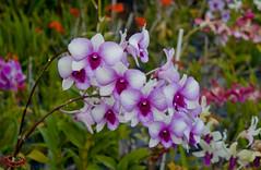 Orchid (Tim Conway) Tags: christmas travel flowers winter vacation usa orchid tourism america garden island photography hawaii islands us purple pacific united january kauai hawaiian states gardenisland 2013