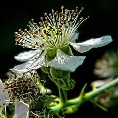 Fleur de mûrier (domiloui) Tags: flowers france macro nature composition flickr jardin lumiere lorraine campagne couleur plantes nuances documentaire cooliris nomeny abaucourt blinkagain
