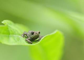 common toadlet