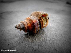 Hermit Crab. (Kingshuk Mondal) Tags: