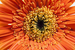 Orange Gerber Daisy (Arisha Ray Singh) Tags: life red summer wallpaper orange white plant flower color detail macro nature floral beautiful beauty closeup garden season botanical spring flora colorful pretty close natural bright blossom head background decoration fresh petal gerbera daisy bloom botany dasies isolated gerber blooming