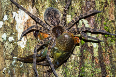 Fishing Spider with crayfish (James T Johnson) Tags: everglades crayfish fakahatchee fishingspider