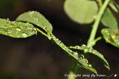 Leaves & Raindrop  ( Nana) Tags: life light plant leaves angel tears natural bokeh taiwan  simple raindrop taiwan     leavesandraindrops