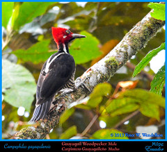 GUAYAQUIL WOODPECKER Male Campephilus gayaquilensis Pecking a Limb at the Milpe Bird Sanctuary in Ecuador. Photo by Peter Wendelken. (Neotropical Pete) Tags: ecuador woodpecker ngc carpintero pichincha campephilus picidae ecuadorbirds southamericanbirds neotropicalbirds milpe guayaquilwoodpecker campephilusgayaquilensis sanmigueldelosbancos mygearandme photobypeterwendelken peterwendelken ecuadorphoto ecuadorwoodpeckers southamericanwoodpeckers neotropicalwoodpeckers milpebirds avesdemilpe guayaquilwoodpeckermale guayaquilwoodpeckerinecuador guayaquilwoodpeckeratmilpe carpinteroguayaquileño