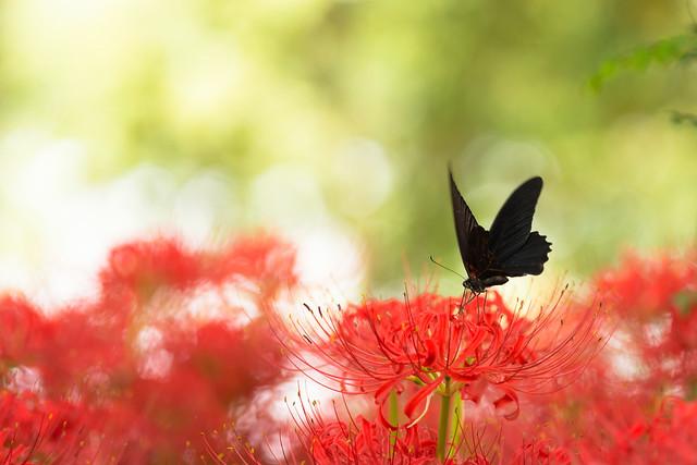 彼岸花の花言葉・4色の色別|彼岸花の別名・開花時期