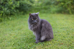 Sultan (Emil isang) Tags: portrait pet grass cat intense whiskers stare