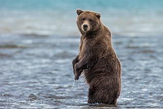 Bears and Bipedalism 2831