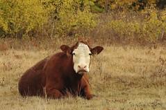 DSC_2154 (Debbie Prediger Photography) Tags: autumn canada fall cattle cows market beef pasture alberta cadogan debbiepredigerphotography