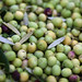 2013 Jordan Olive Harvest 019
