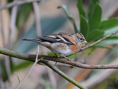 DSC_9262a.jpg (雙關) Tags: 花雀 雌鳥