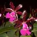 Cattleya Landate – Renate Schmidt