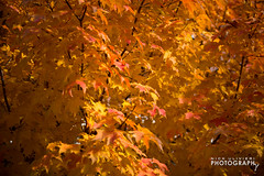 (11.3.13)-Fall Leaves-LO-2 (ChiPhotoGuy) Tags: city autumn chicago fall colors saturated