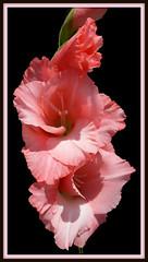 """Sword Lily"" (Puzzler4879) Tags: pink flowers brooklyn pointshoot gladiolus canonpowershot pinkflowers swordlily canondigital canonaseries canonphotography perfectpetals pinkgladiolus canonpointshoot a580 canona580 canonpowershota580 powershota580"