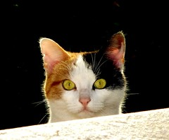 coucou ! (b.four) Tags: cat chat chatte gatta alpesmaritimes cagnessurmer ruby3 coth rubyphotographer coth5 mygearandme mygearandmepremium mygearandmebronze mygearandmesilver mygearandmegold mygearandmeplatinum ruby10 ruby15 ruby20