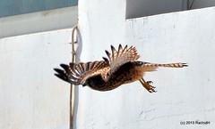DSC_0473 (rachidH) Tags: nature birds hawk redsea egypt falcon birdsofprey kestrel oiseaux falcotinnunculus commonkestrel faucon fauconcrcerelle ainsokhna rachidh