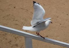 the slippery slide gull (5) (bertknot) Tags: seagulls seagull gull gulls mwe gaviota meeuw meeuwen gabbiano gaivota goland ms lokki zeemeeuw mge zeemeeuwen mewa sirly dalg   diemwe slipperyslidegull mouettedupegolandgolandbeccerclgolandargentgolandcendrgolandmarinmouetterieuse zeemeeuwenmeeuw