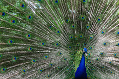 peacock's pride (M00k) Tags: park bali bird indonesia feathers peacock pride gianyar 2013 tamanburung singapadu