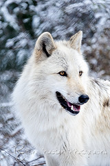 WOLVES_Jan182014_0196 (Roni Chastain Photography) Tags: animals wolf wildanimal wolves canines wolfconservationcenter flickraward nywolf rockymountaingraywolf