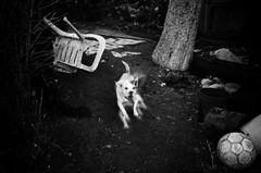 IMGP5168-stavrosstam (stavrosstam) Tags: bw dog plastic armchair thelittledoglaughed ldlnoir