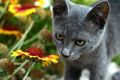 Cat- esthete. (halina.reshetova) Tags: red summer cats brown plant flower green animal yellow cat canon eos eyes blossom gray august summertime glance catears catseye graycat cathair catpaws ilovecats catswhiskers abigfave catslook nosecat 1000d he