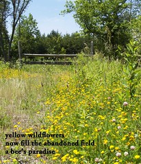 Yellow Wildflowers Haiku (Don Iannone) Tags: field haiku wildflowers yellowflowers oldfence imagepoetry poemandpicture