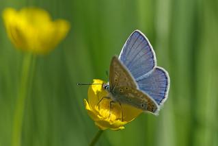 Common Blue (Polyommatus icarus, Icarusblauwtje)