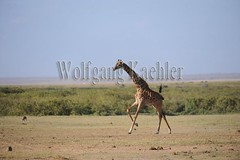 10070814 (wolfgangkaehler) Tags: africa kenya african wildlife running giraffe amboseli kenyan eastafrica galloping eastafrican giraffacamelopardalistippelskirchi masaigiraffe amboselinationalpark amboselikenya amboselinatlparkkenya